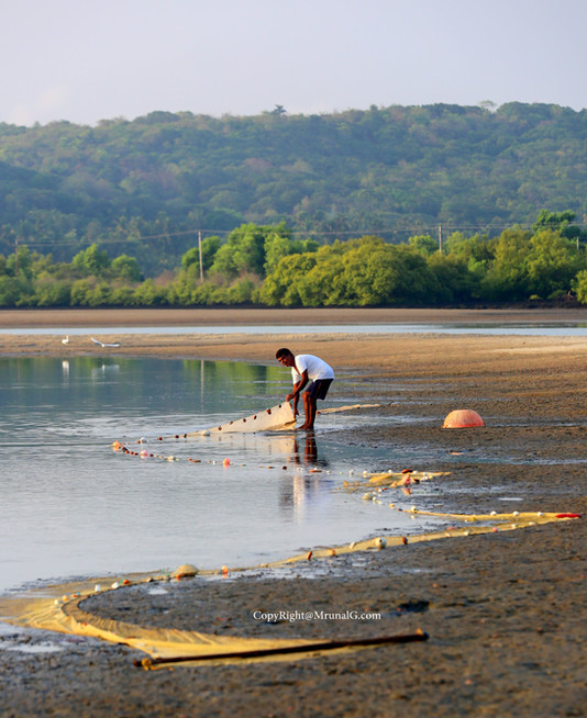 A fisherman collecting fish from his net in a shallow water fishing