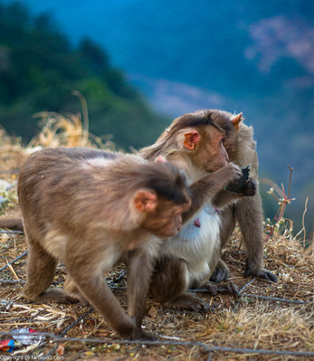 Monkeys checking themselves in the mirror
