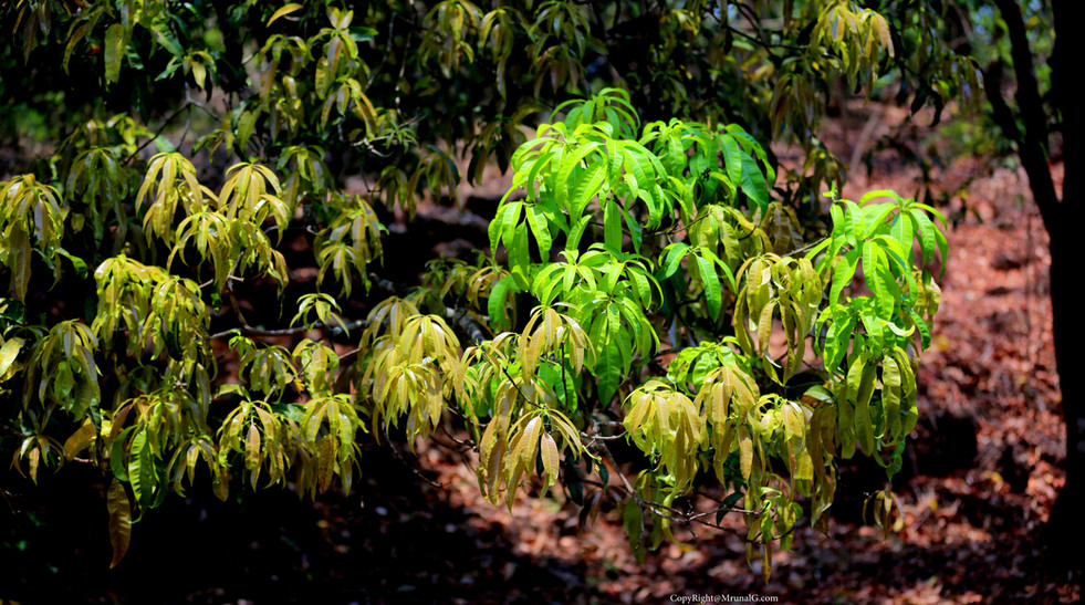 The colors of new leaves on an Alphonso mango tree