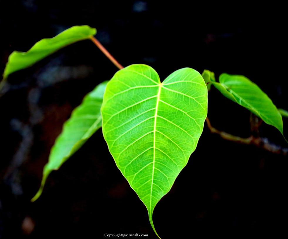 The green heart of Peepal tree