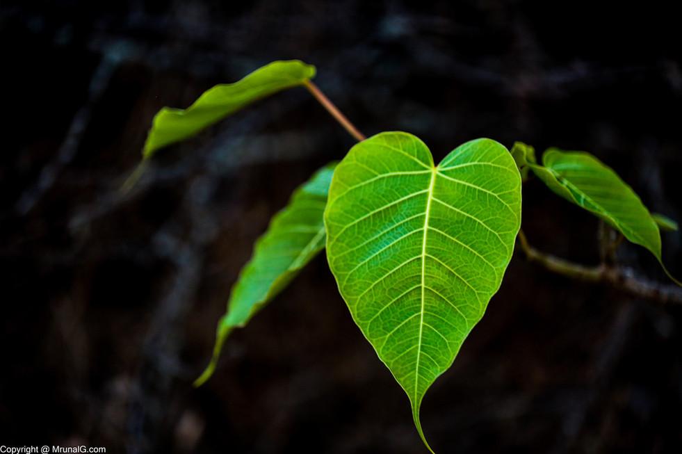10.33 The green heart of Peepal tree