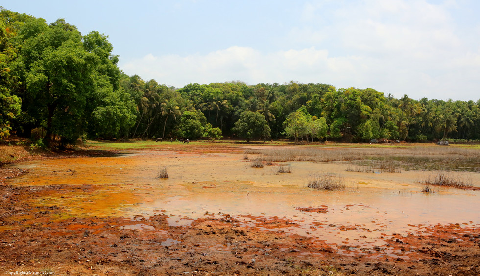 Remaining of creek water in paddy fields in Bhatvadi area