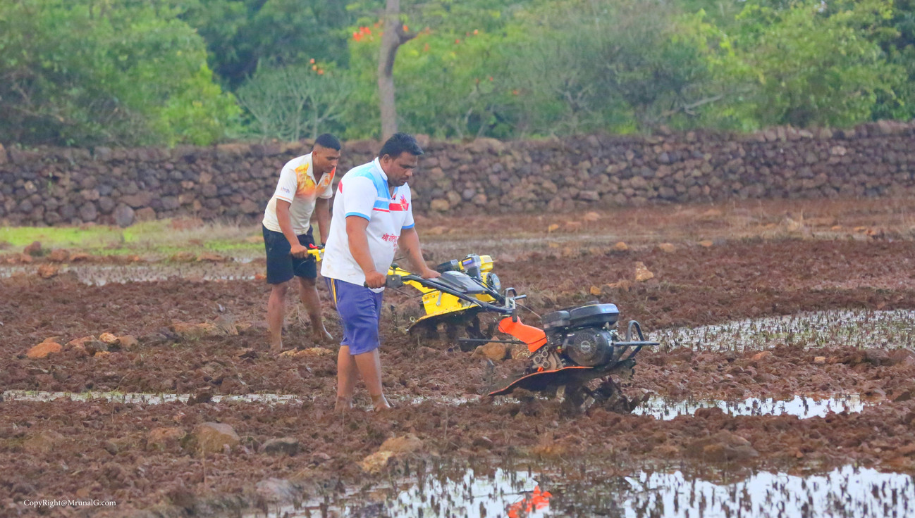 Making fields ready for sowing paddy / rice crop.