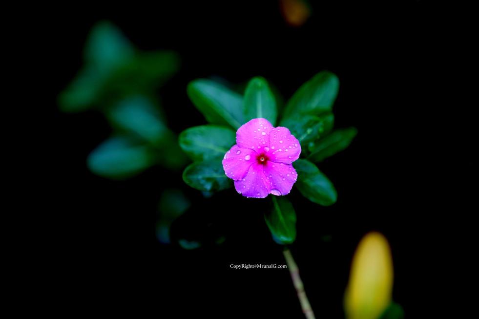 Sadaphuli flower a common in Konkan area