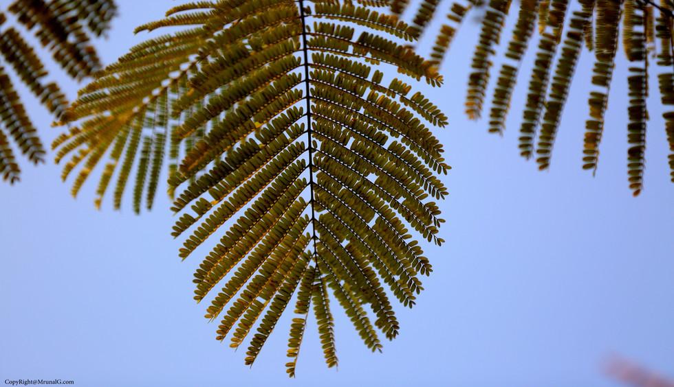 Amla tree leaves