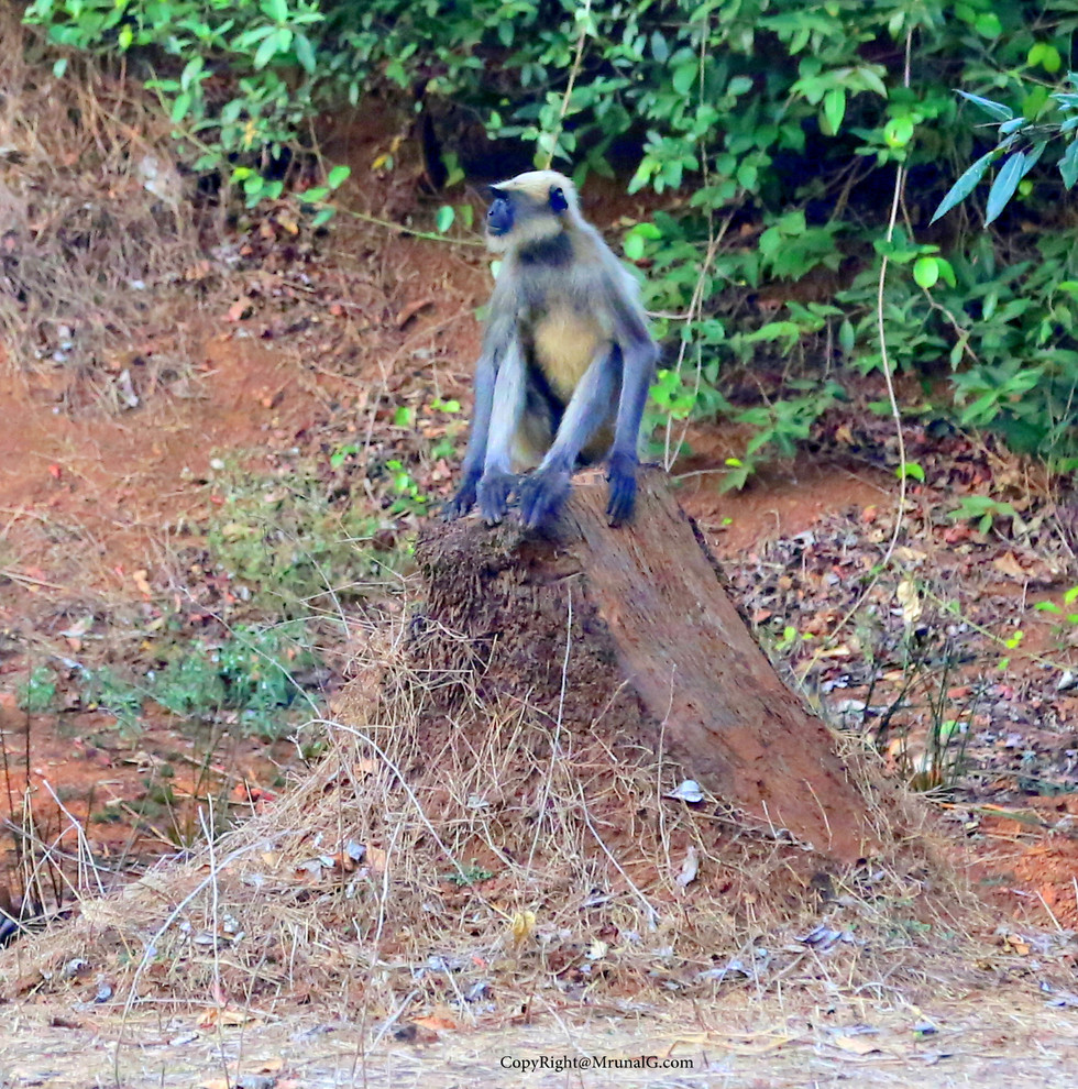 Black face monkeys are a common sight around Mango plantations during summer times.