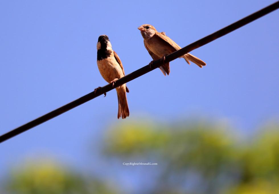 The sparrow couple
