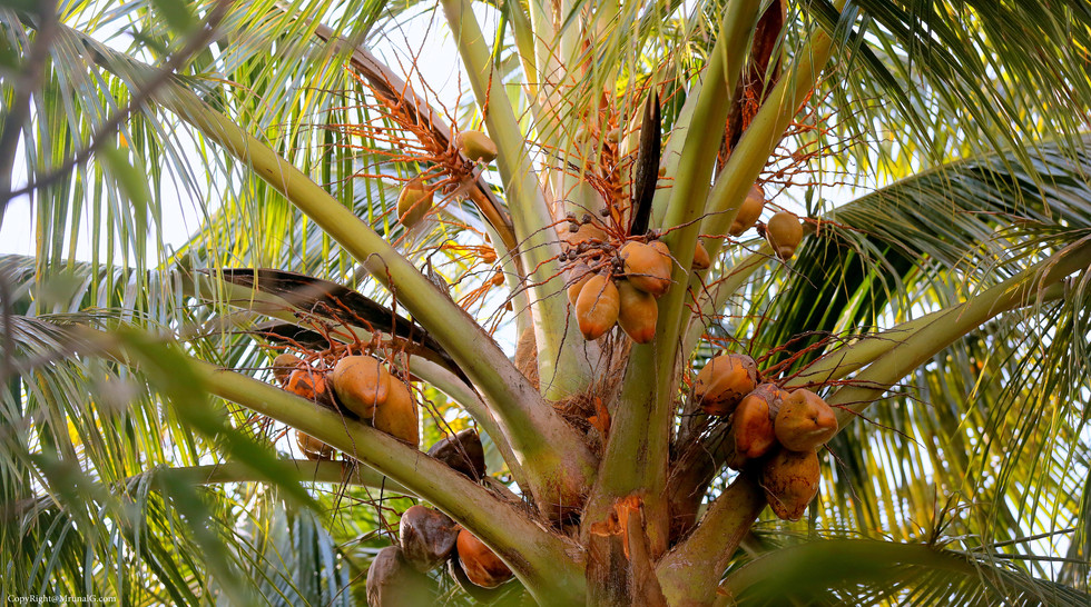 Coconuts on the tree.