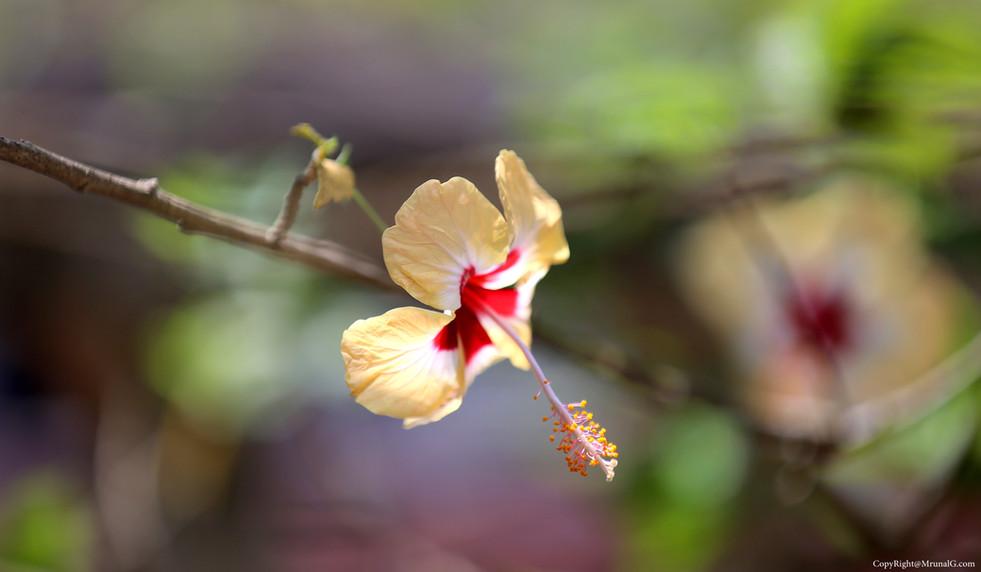 Jaswand has amazing range of colors (Hibiscus)