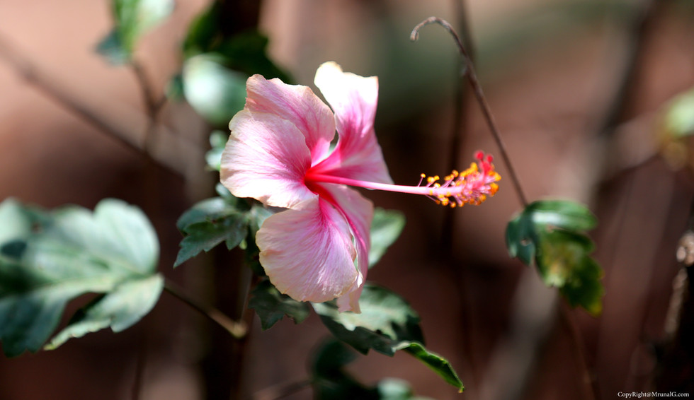 Jaswand (Hibiscus) flower