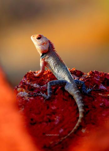 The wild Lizard (Sarda)