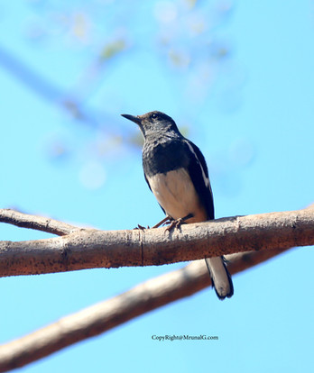 10.26 Black robin resting