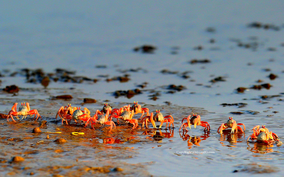 The army of crabs at Taramumbri shallow waters during low tide early morning 7 am