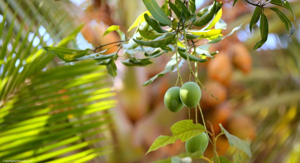 Ratna mangoes on the tree