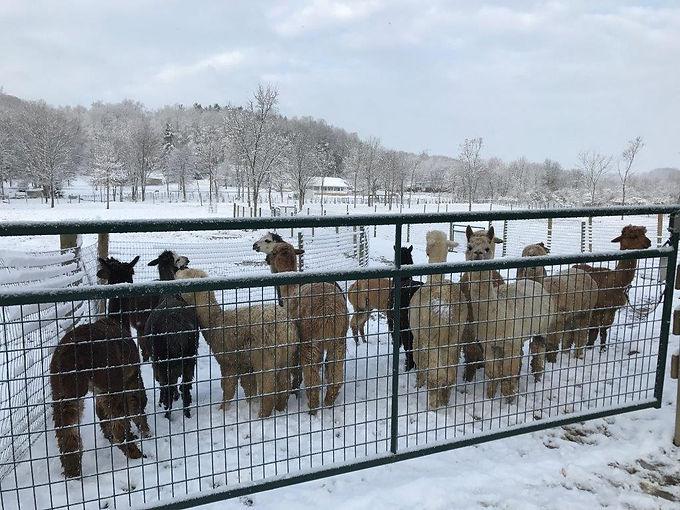 Alpaca Farm Winter 4.jpg