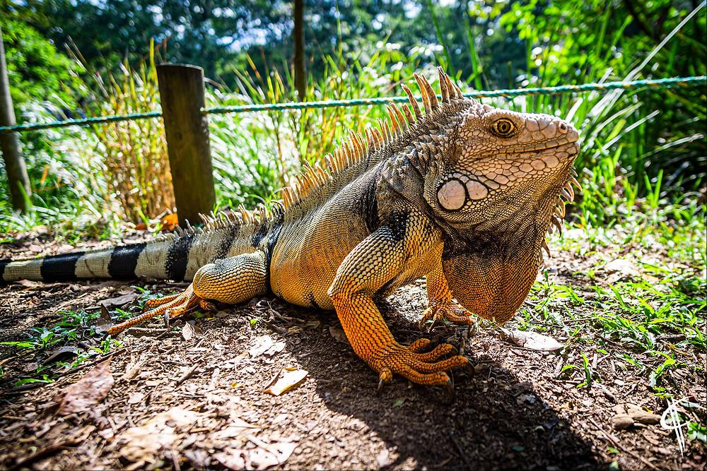 Iguana, Medellin