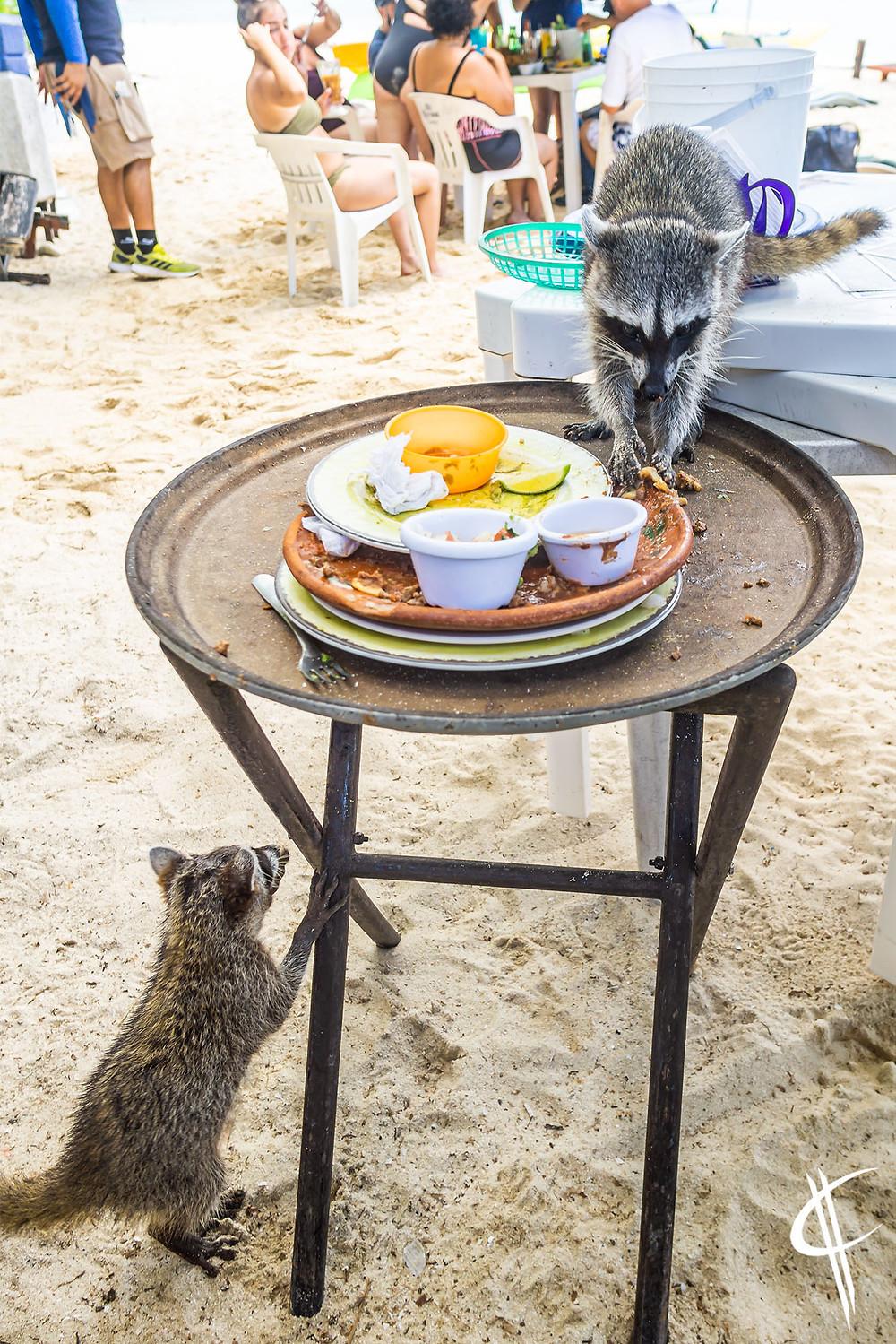 Cozumel Racoons, Palancar Beach
