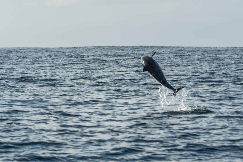 Jumping Spinnerdolphin