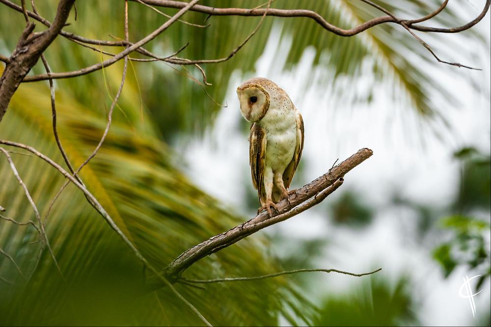 Barn owl seeking prey