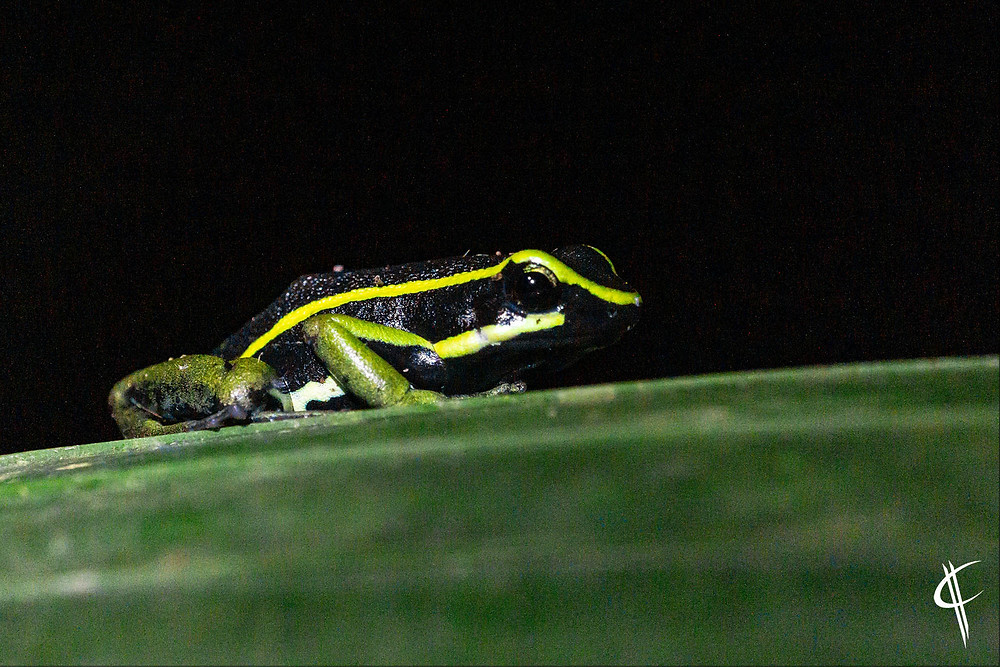 Poisen-dart Frog, Tambopata