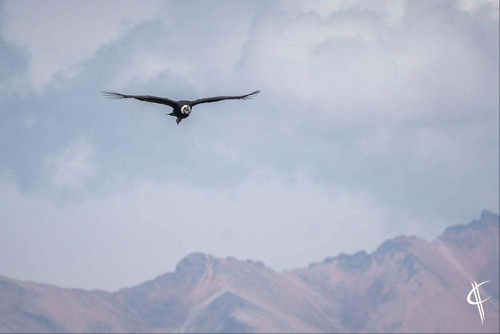 Andean Condor, Colca Canyon