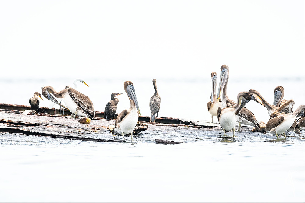 Pelicans and friends, Livingston
