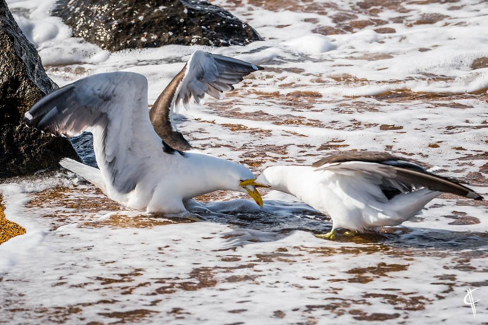 Kelpgulls fighting very intense!