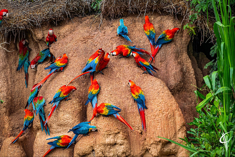 Macaws fighting on the clay lick, Tambopata