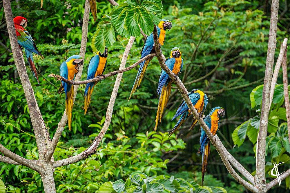 Blue and yellow macaws, Tambopata