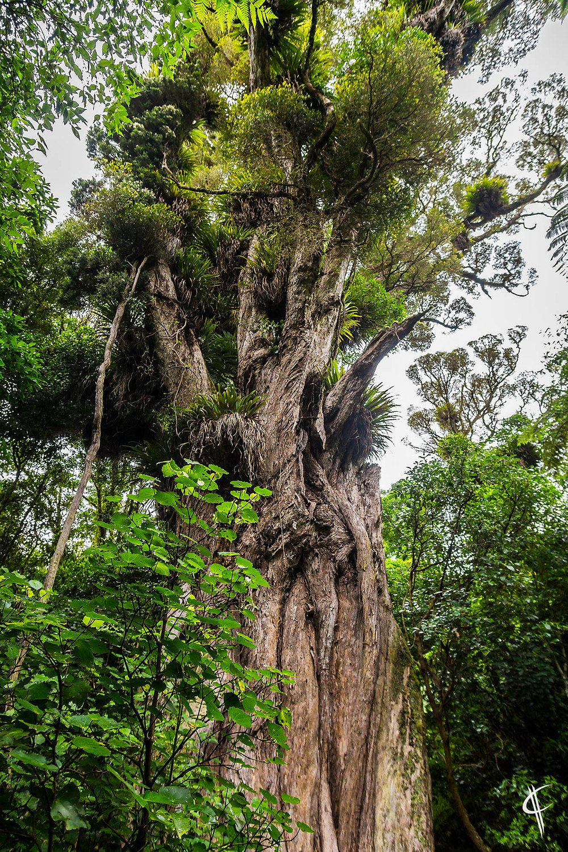 Ratanui (biggest Rata Tree)