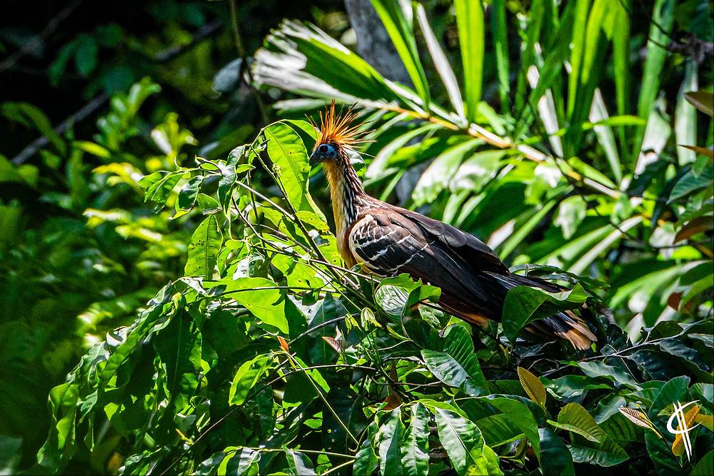 Hoatzin, Tambopata