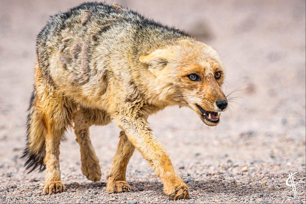 Angry Andean Fox, Piedra de arbol