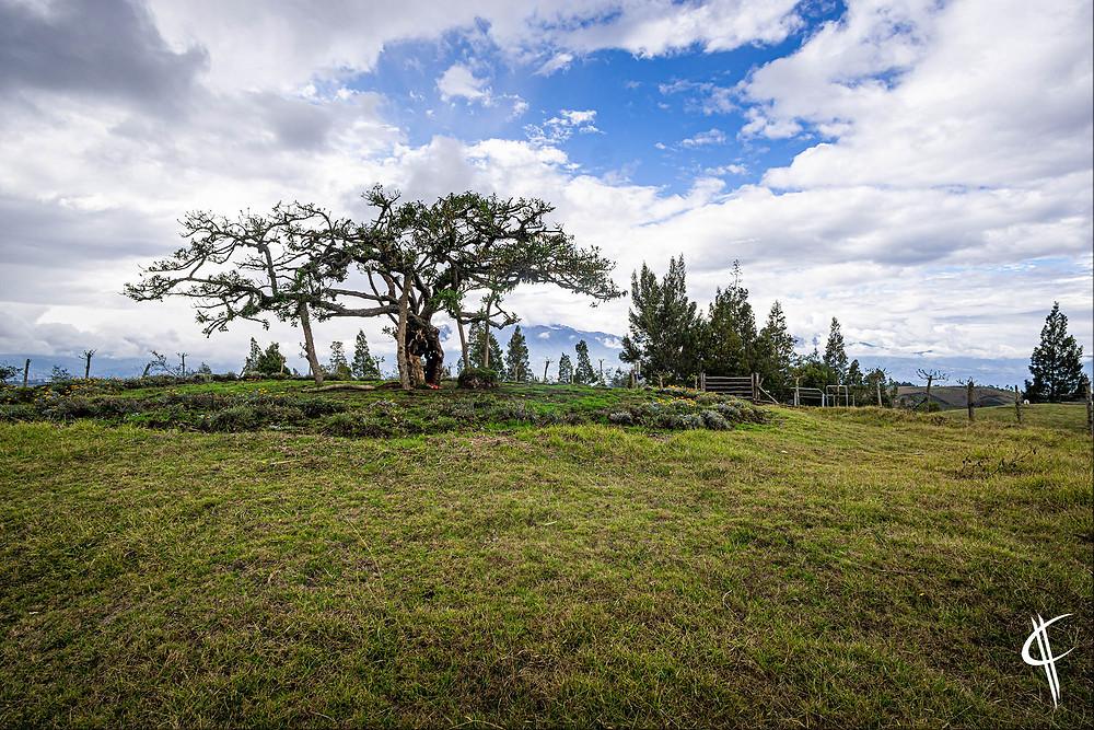 1000 years old tree, Otovalo