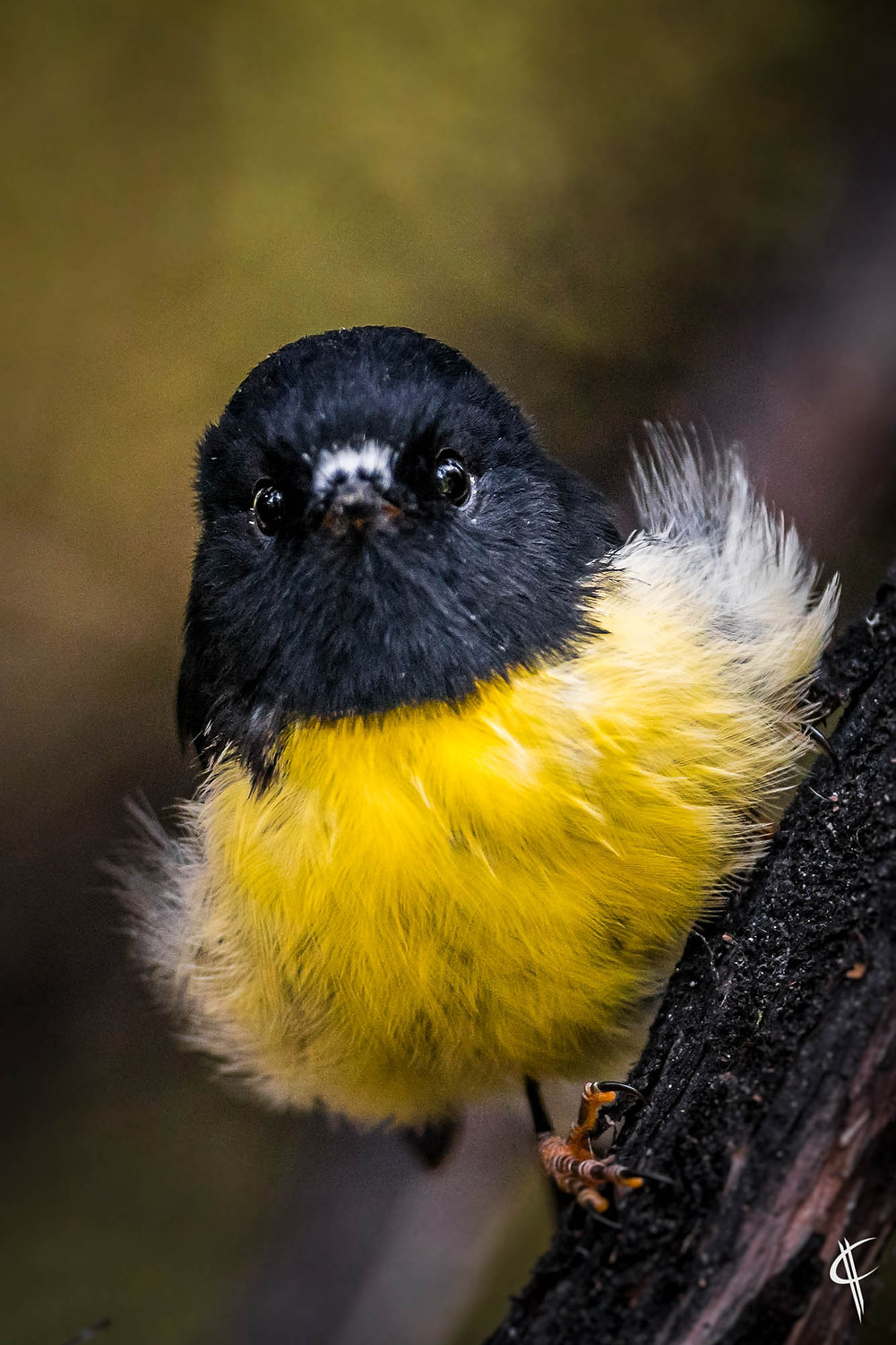 Curious Tomtit