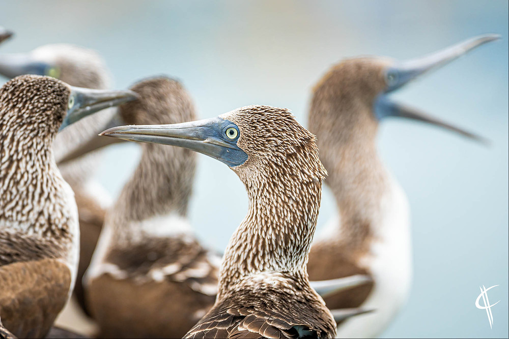 Blue Footed Boobies, Puerto Lopez