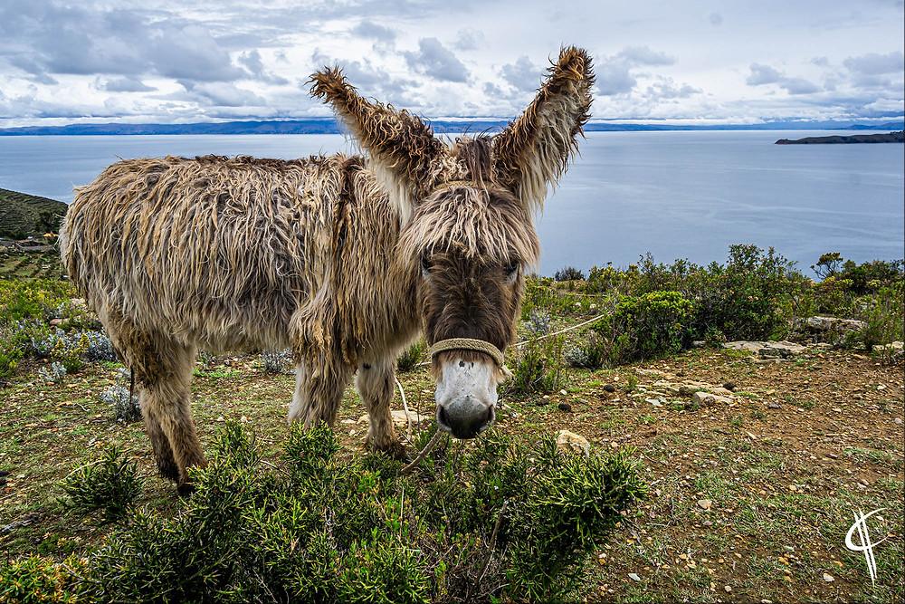 Donkey on Isla del Sol, Lake Titicaca