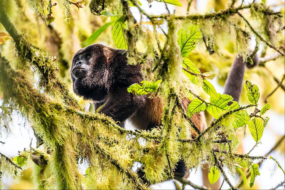 Manteld Howler Monkey, Puerto Lopez