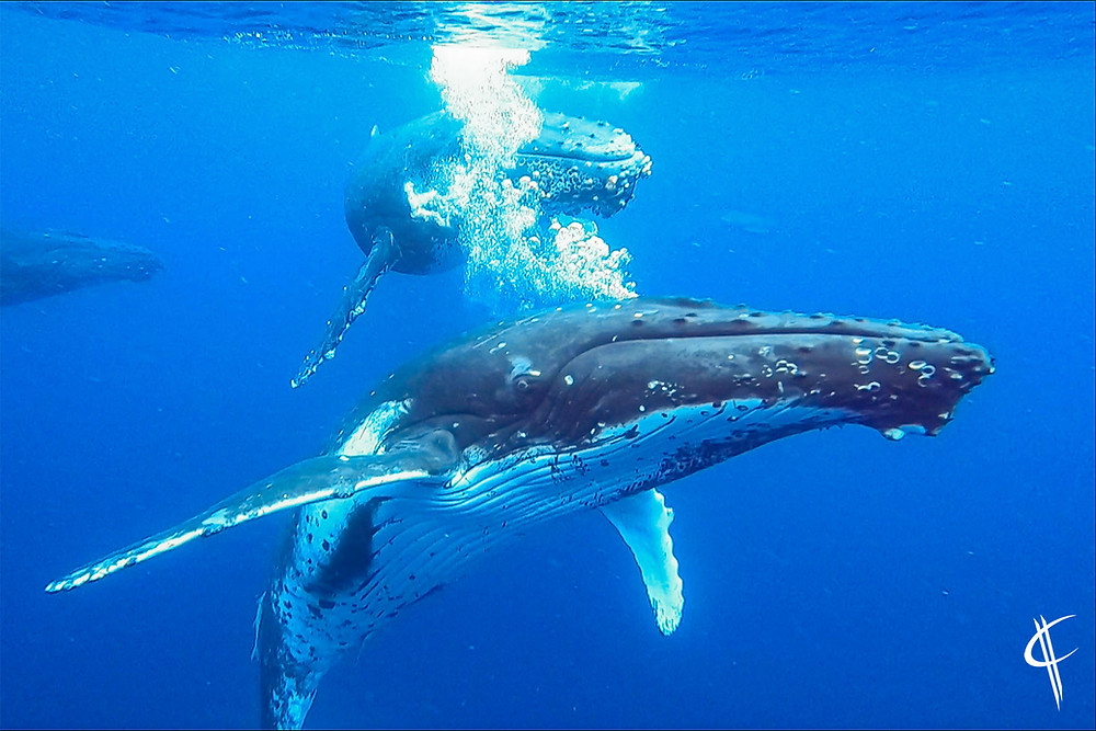 Humpback whale posing for the camera