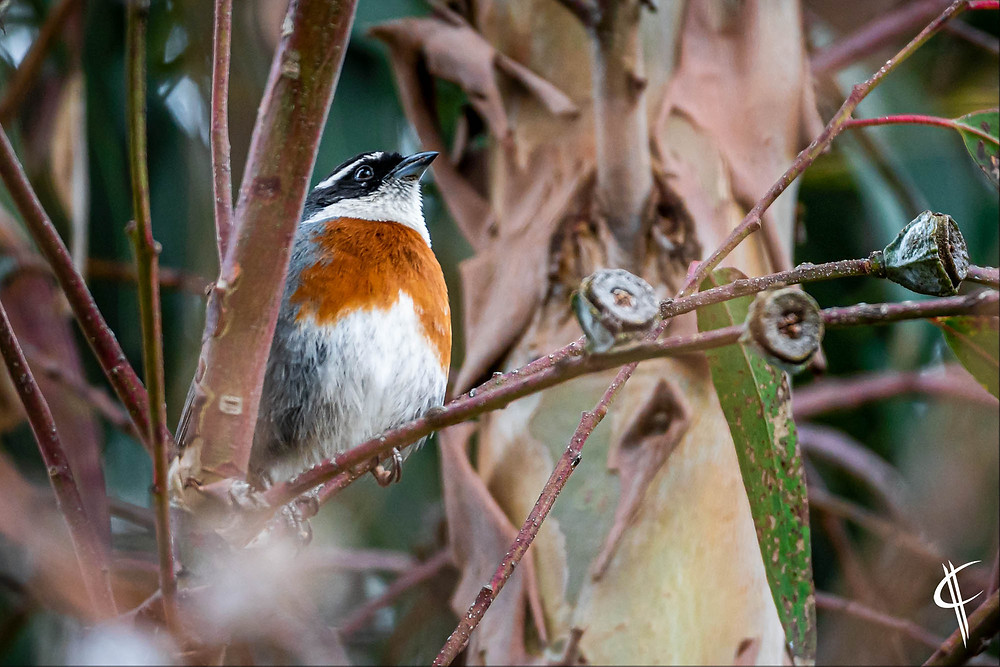 Chestnutbreasted Mountainfinch (endemic in Cusco)
