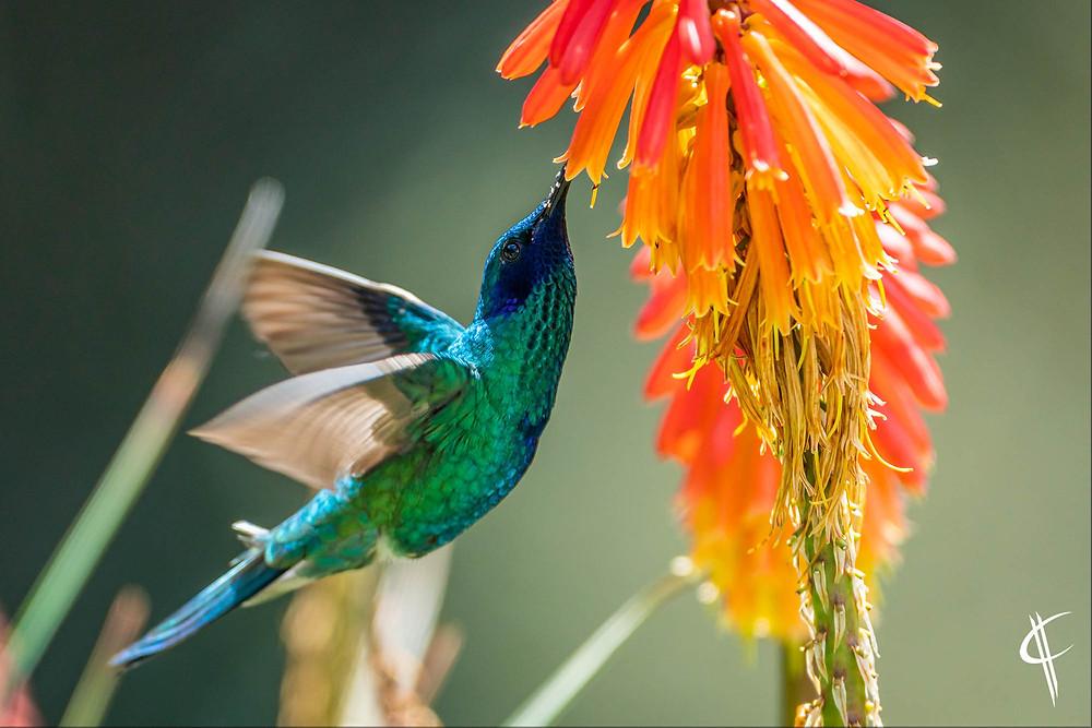 Sparkling Violettear (Hummingbird)