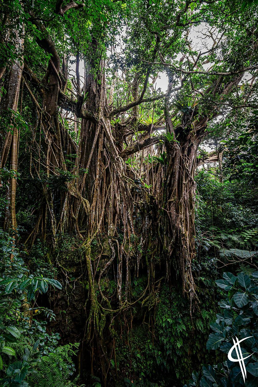 The old Ovava Tree
