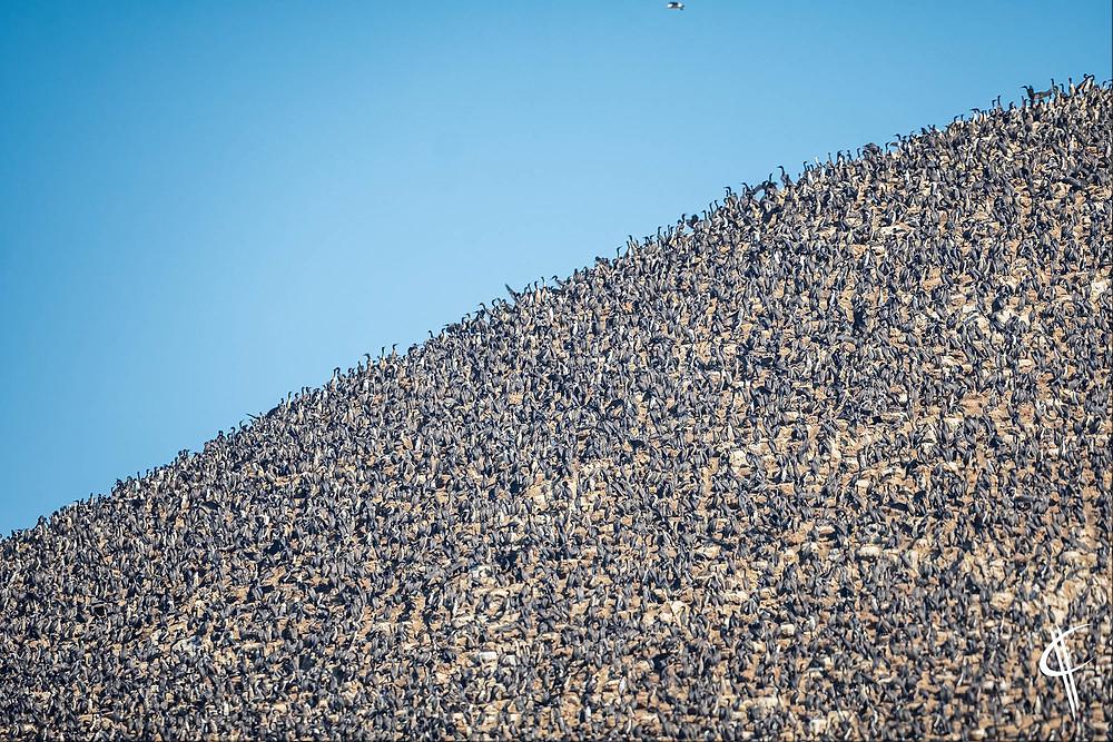 Thousands of Guanay Cormorants, Ballestas Islands