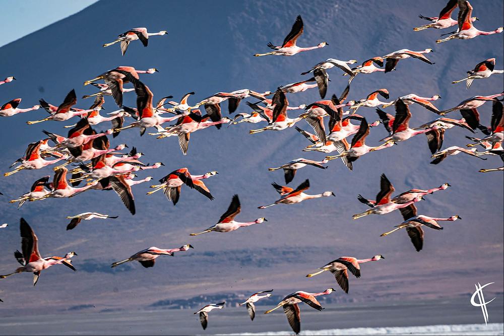 Andean & Jame's Flamingos, Laguna Colorada
