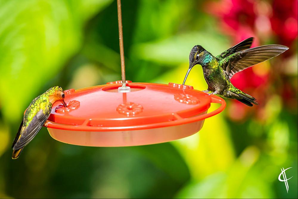 Hummingbirds @ Finca El Pilar