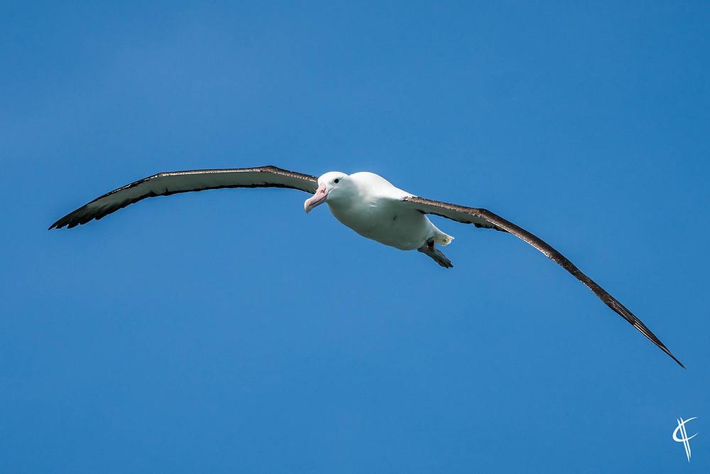 Northern Royal Albatros