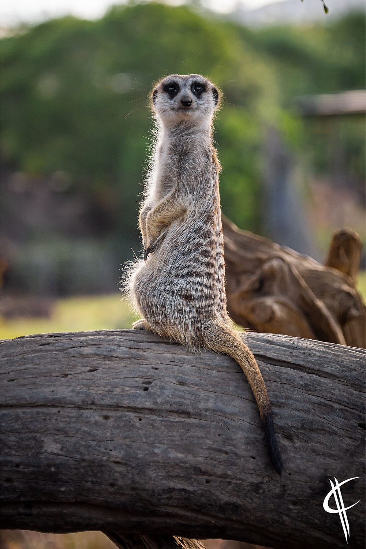 Timon the Meerkat