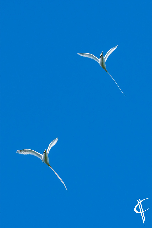 Parade of the tropicbirds