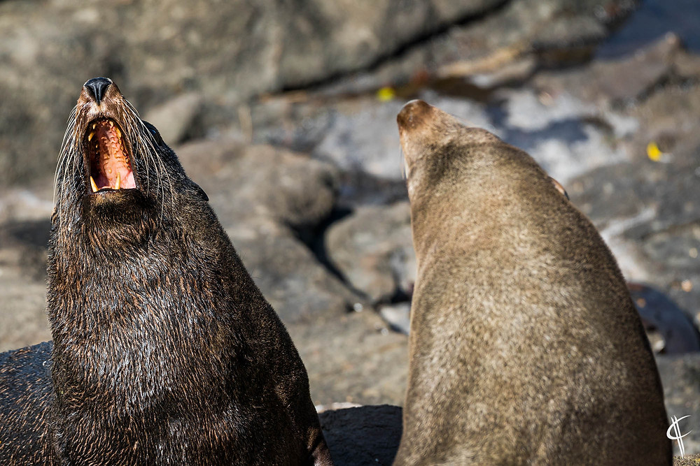 Fur Seals fighting