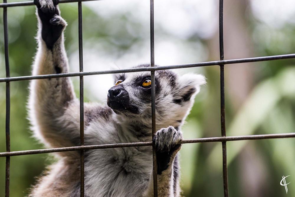 Ring tailed lemur @ Willowbank reserve