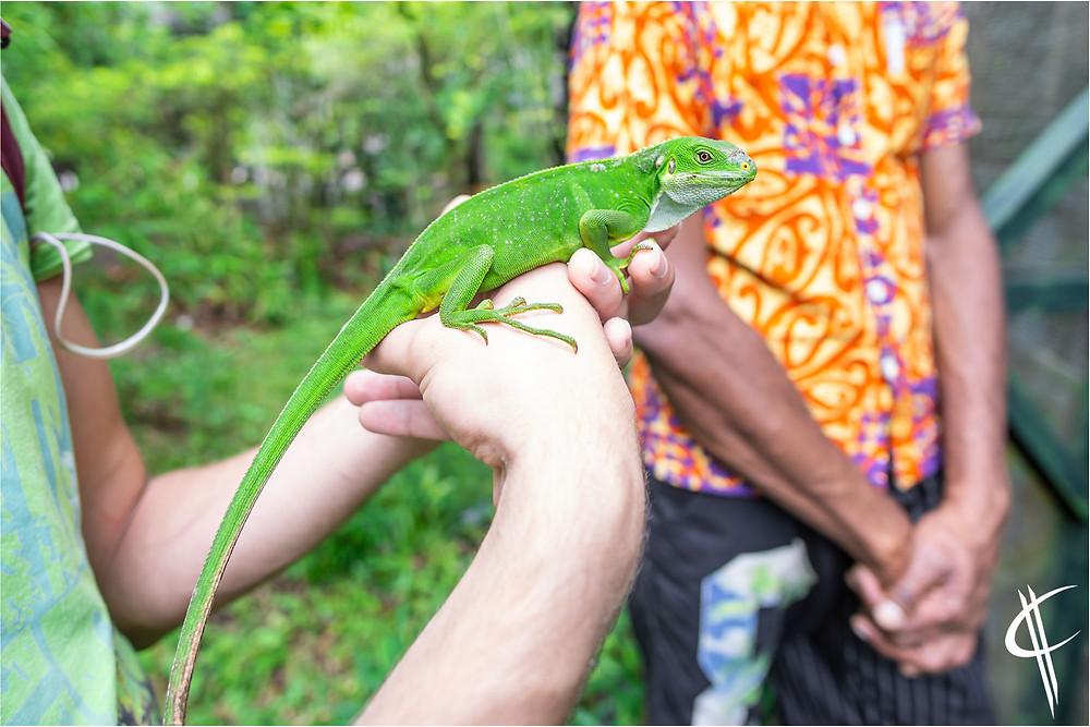 Fiji-iguana @ Secret Garden